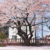 桜の写真を圧倒的にキレイに現像するマル秘レシピ教えます。